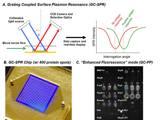 Figure 3: The principle of grating-coupled surface plasmon resonance (GC-SPR) for biosensing. B) An example of a GC-SPR chip is shown, with a 20x20 array of proteins (400 total). C) The image shown is of a GC-SPR chip exposed to blood serum from a mouse infected with Lyme disease. White spots show a positive detection of antibodies against Lyme disease in a mouse.